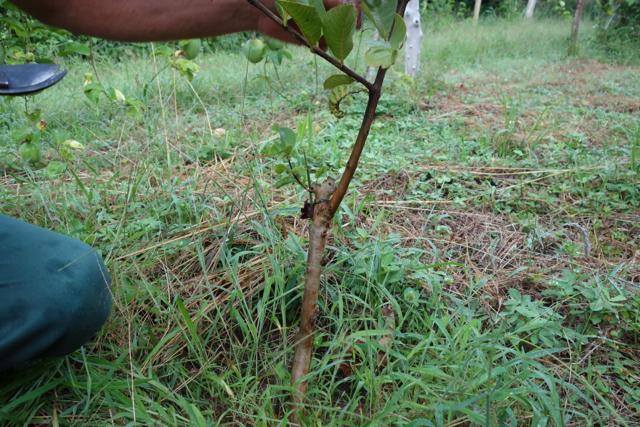 Mirandópolis - 41tree1