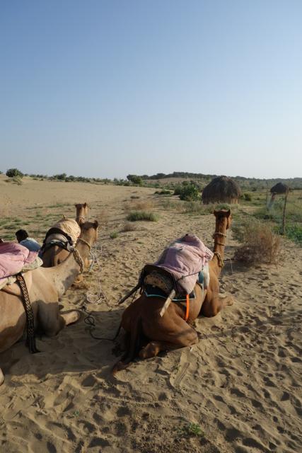 Jaisalmer - 62camel2