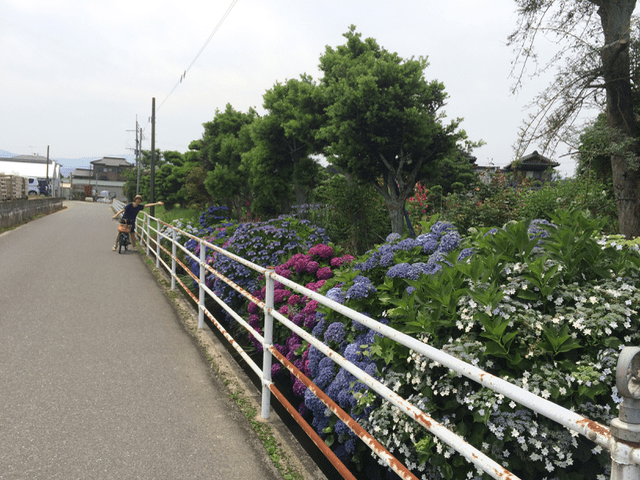 紫陽花が綺麗!