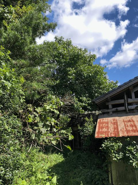 杜仲茶の木