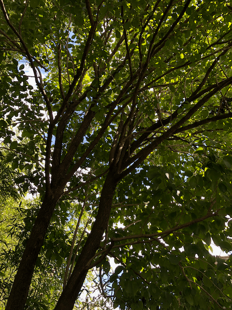 杜仲茶の木を見上げる
